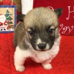 Bobby/Pembroke Welsh Corgi/Male/,Who's wouldn't want this handsome fella with a bow tie under the tree. Bobby will be sure to win your heart over with just one look. He loves to play with toys. When he is all done with playtime, he will be the first one to curl right up to you for a good, old afternoon nap. Bobby will be coming home to you up to date on his vaccinations and will have a full head to tail checkup. Don't miss out on this lovable, handsome boy. He will make your Christmas Day brighter along with the years to come.
