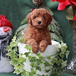Twinkles/Male /Male /Mini Goldendoodle Puppy,Twinkles is an adorable F1b Miniature Goldendooodle puppy with a bubbly spirit and is full of life. This family raised pup is vet checked, up to date on shots and wormer, plus comes with a health guarantee provided by the breeder. Twinkles enjoys getting lots of love and attention. To learn more about this tiny little fellow, please contact the breeder today!