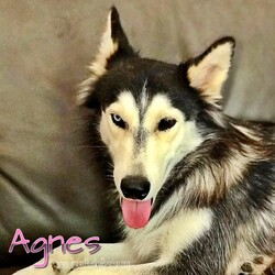 Adopt a dog:Agnes/Siberian Husky/Female/Adult,Hi, there! My name is Agnes, and I recently found myself knocked-up and living in the shelter at the ripe age of 3. It definitely wasn't the ideal life, but at least I had the man I loved with me...or so I thought. As soon as TXHR came in to rescue us, my man abandoned me while I was pregnant to pursue his own happily-ever-after with his very forever family.   Luckily, I ended up in a foster home where I could raise my babies. Being a single mom is hard enough by itself, but I had to be a single mom to nine puppies. Yup, you heard that right. I had NINE puppies. I'm on the petite side, too, so I honestly don't know how I fit all of those monsters in my tummy. I was just as shocked as my foster mom was when they just kept coming out.    Now that my kids are all grown up and I'm living the empty-nester life, I find that I have a lot of time on my paws, especially since the kids don't call to check in on me. It's seems like out of 9 kids, at least one of them would call. Oh well, at least I don't have to share my toys with them anymore, and I can take long, uninterrupted naps without them whining for me to feed them. I also have plenty of time to play with my canine foster brother and cuddle on the couch.   Although some girls might be devastated to have their loved ones abandon them, I choose to look on the bright side. I am now learning how to be a strong, independent woman who lives her life for herself. I just feel sorry for those who choose to live their lives without me. They are seriously missing out, and I'd hate for you to be one of those people.   Do yourself a favor, and fill out an application for me. It will be the best decision of your life.