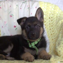 Mabel/Female /Female /German Shepherd Puppy