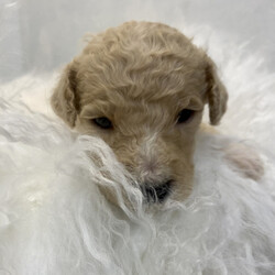 Silver/Poodle/Male/,If you're looking for a buddy to share tons of good time with, then you have found the one right here. My name is Silver and I specialize in good times. Where I am now, is great and I am being well taken care of, but I know that the real adventure starts once I've made my way to you. We can go on a jog in the mornings, roll around the house before lunch, and I can even teach you to bark at the mailman when he comes to interrupt our play time. It'll be our rules, all the time! Hurry up and pick up that phone so we can get a roll on things! Don't wait, some other family might get a hold of me and I want to go home with you!
