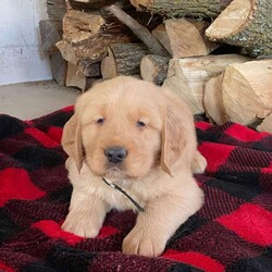 Boone/Male /Male /Golden Retriever Puppy,Say hello to Boone, a charming Golden Retriever puppy ready to win your heart! This playful pup is vet checked and up to date on shots and wormer. Boone can be registered with the AKC and comes with a health guarantee provided by the breeder. This angelic pup is family raised with children and would make the sweetest addition to anyone's family. To find out more about Boone, please contact Ben today!