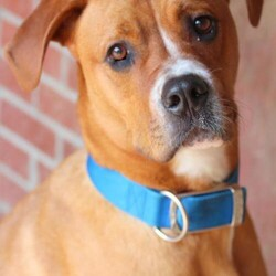 Adopt a dog:Sawyer/Great Dane/Male/Adult,This handsome boy is Sawyer! Sawyer is a 6 year old Great Dane/Boxer mix. Sawyer is a shy boy and needs a home with an experienced and patient owner that is willing to train him and help boost his self confidence. He craves a social connection, and needs a home a stable home that will work with him tirelessly. He needs direction and leadership and firm, benevolent handling to secure his place in the world! Once you have earned this boys trust, he will warm up to you and be an absolute love bug! It is not recommended that Sawyer go to home with children, because loud noises and fast movements seem to scare him. Sawyer also needs to be an only pet. If you would like to make this boy a part of your family, fill out an application at www.barktownrescue.org  SAWYER'S ADOPTION FEE IS $160The shelter software system requires that we choose a predominant breed or breed mix for our dogs. Visual breed identification in dogs is unreliable so for most of our dogs we are only guessing at the dog's predominant breed or breed mix. We strongly encourage you to select your new pet by looking at each dog's individual personality and pet qualities rather than relying on a breed label that is only our best guess.  Our adoption fees vary from $150 and up. All of our dogs are up to date on vaccines, heart worm preventives, and flea/tick medication, and will be spayed/neutered prior to adoption. Portions of your adoption fee also help care for the sick and injured animals that we take in. Thank you for supporting us and considering a rescue dog!