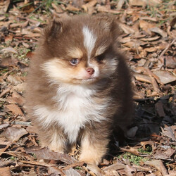 Zambi/Pomeranian/Male/