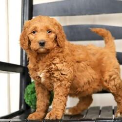 Tulsi/Female /Female /Labradoodle Puppy