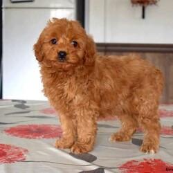 Jemma/Female /Female /Mini Goldendoodle Puppy