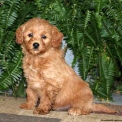 Master-F1B/Male /Male /Mini Goldendoodle Puppy