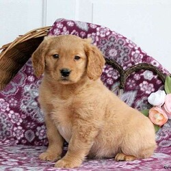 Wally/Male /Male /Mini Goldendoodle Puppy