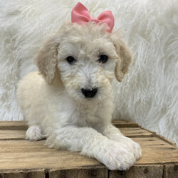 Opal/Poodle/Female/