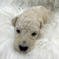 Vander/Poodle/Male/,May I introduce to you, the fabulous, the fantastic, the magnificent, Mr. Vander! This puppy is one of a kind, and will steal your heart the moment you lay eyes on him. He's a real crowd-pleaser. He will do anything for a treat, or just a good belly rub. He will arrive up to date on vaccinations and with a thorough exam from his vet! He can't wait for you to bring him home and make him the star he deserves to be. He'll shine bright for you, for many years to come. Make Vanderyour leading man today!