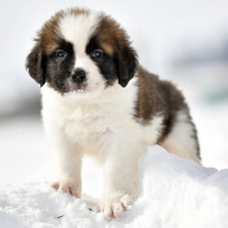Missy/Saint Bernard/Female/