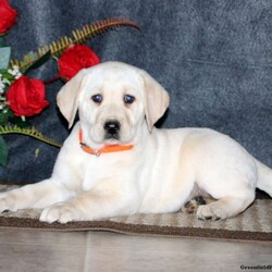Tammy/Female /Female /Yellow Labrador Retriever Puppy