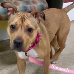 Adopt a dog:Smooch/Pit Bull Terrier/Female/Adult,Smooch is a 1 year old Pit Mix who is just a ball of energy! She would love a home that has a family to play with her all day long! She would do best with a fenced in yard or someone who is very active. She loves to run and play nonstop. She is a puppy so training classes would be great for her!