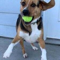 Bruno/Beagle/Male/Adult