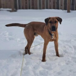 Adopt a dog:Whiskey/Shepherd/Male/Young,