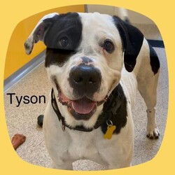 Adopt a dog:Tyson/American Bulldog/Male/Adult,Meet Tyson.   Tyson, Ty-Ty, Tybo is a stray from Perry. He's a 2 year old American Bulldog mix.   He is smart, but stubborn so isn't as up to snuff on dog manners and tricks. He can sit and take a treat like a champ but loses interest pretty quickly after that.  Tyson runs well with other dogs outside, but may be best as an only dog as he is not keen on several of his roommates.  Tyson deserves a home with fenced yard so he can run, explore and soak up the sun.  A patient, experienced dog family who can work on obedience and provide lots of love would be a great match for Tyson. He likes to lean in for scratches and thinks he's a lap dog most of the time.