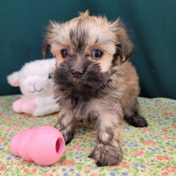 Serena/Havanese/Female/,Meet Serena! Isn't she just gorgeous? This little girl will definitely brighten up your days. She will be the talk of the town. Wouldn't you just love to make this sweet pup yours today? Serena is more than ready to shower you with all of the love she has to offer. Serena will have a nose to tail vet check and arrive up to date on her vaccinations. Make Serena a part of your family and you will not be able to imagine your life without her.