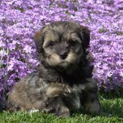 Izzie/Female /Female /Havanese Puppy