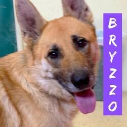 Adopt a dog:Bryzzo/German Shepherd Dog/Male/Adult,