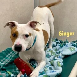 Adopt a dog:Ginger/Terrier/Female/Adult,