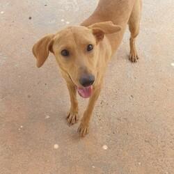 Adopt a dog:Emmie/Affenpinscher/Female/Young,