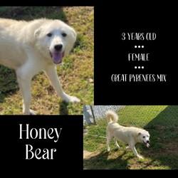 Honey Bear/Great Pyrenees/Female/Adult