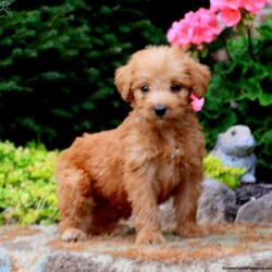 Tyler/Male /Male /Labradoodle Puppy