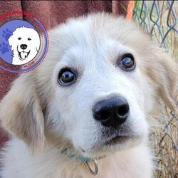 Adopt a dog:Spencer/Great Pyrenees/Male/Baby,Meet Spencer. Born approximately June 2021, he is super cute and sweet and loves everyone he meets. He is inquisitive, bouncy, and fun but also loves to be cuddled.  There is a lot for a puppy to learn so he will need to find a home where someone is very available to him in these early days. He loves the companionship of other animals and requires another dog to act as his mentor as he continues to understand the rules of his new world.  Currently his Foster family is teaching him the difference between his toys and others' prized possessions. This cute little boy is not going to be little for long. Now is the best time to jump in and continue mentoring him. It is going to be so fun watching him fill out and fit into those big paws.  ADOPT HERE: Complete an Adoption Application for your Pyr-fect new family companion at https://gprs.rescuegroups.org/forms/form?formid=6206.  PUPPIES ARE ONLY PLACED IN HOMES WITH YOUTHFUL, PLAYFUL RESIDENT DOGS WHO ARE AT LEAST 50 POUNDS.  Our requirements for puppy adoptions are simple and necessary.  Our puppies are not livestock guardians, they are family pets that live inside of the family home. Puppies must be placed in homes with a youthful, adult resident dog of similar size. This gives the puppy a mentor and a solid foundation for becoming part of the family. Puppies are only adopted to homes with someone at home at least part of the day. If no one is home for 6-8 hours at a time, please do not apply. Preference is always given to those with Great Pyrenees experience. Applicants must have secure, visible fencing and a socialization plan in place. The fastest way to be considered for a puppy is to fill out an application. Adoption is not first come, first served. GPRS and its fosters work diligently to find the right fit for each and every unique dog and puppy. Applicant's personal pets must be current on vaccines & heartworm/flea prevention and be altered.  Adoption fee: $450 (Adopti
