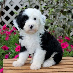 Tucker/Male /Male /Sheepadoodle Puppy,Here comes Tucker, a charming and sweet Sheepadoodle puppy! This adorable pup is vet checked, up to date on shots and wormer, plus comes with a health guarantee provided by the breeder. Tucker is family raised with children and would make the best addition to anyone's family. To find out more about this amazing pup, please contact Earl today!