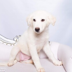 Adopt a dog:me/Golden Retriever/Female/Baby,Every group needs a beautiful blonde and that's exactly what you'll get from Izzie! This girl is ready to start her next adventure and give you all the perfection you need!  Izzie, along with her siblings, The Seattle Grace litter, is en route to the  Pacific Northwest, arriving 10/2.  If you are interested in adoption, please fill out the application at www.doggedly.org/adoption-app  The SG's, had an extremely rough beginning. Six tiny puppies found living in a pile of debris outside of an abandoned house at only 3 weeks old. We can only imagine the horrors these pups faced on the streets or how they managed to eat once they were weaned from their mother, who was a shy dog that was left to fend for herself and her litter until a Good Samaritan stepped in to change their lives. After coming to Doggedly, unfortunately one of the pups, George, was diagnosed with parvo and passed within 24 hours of his diagnosis. To honor his memory the rest of SG are ready to find their forever homes.  Izzie is picture perfect with her lucious white coat and sweet disposition. These pups are loving, playful and full of spunk that will keep you on your toes and bring some light to the grey Seattle days. The SG's love to play and be rambunctious with other dogs, and would do well in a home with another dog to help them continue to grow and build up their confidence. The pups are kennel trained and would thrive with a family that continues to utilize this training. They are making great strides in their potty training, with that being said, Izzie is very much still a puppy and will require some basic obedience training in her new home to help her acclimate to your schedule and build confidence. She is food motivated and loves praise so training will be a breeze. She is also super affectionate, loves to snuggle in bed and give kisses.  All of the Seattle Grace litter is heartworm negative, microchipped and altered. The last step will be their fi